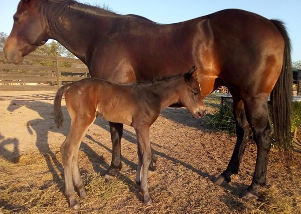 Primeira filha de NO SECRETS HERE nascida na Argentina